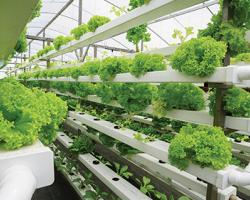 Breeding Freshness With Hydroponic Technology