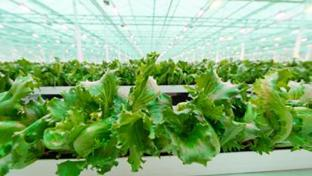 Little Leaf Farms Doubles Greenhouse-Growing Capacity